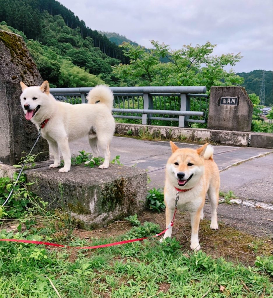 柴犬パトロール