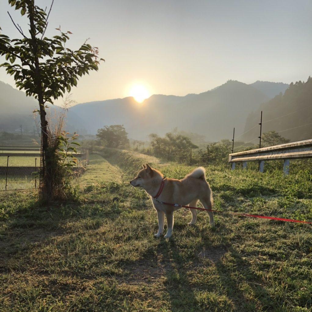 柴犬みかんと朝日