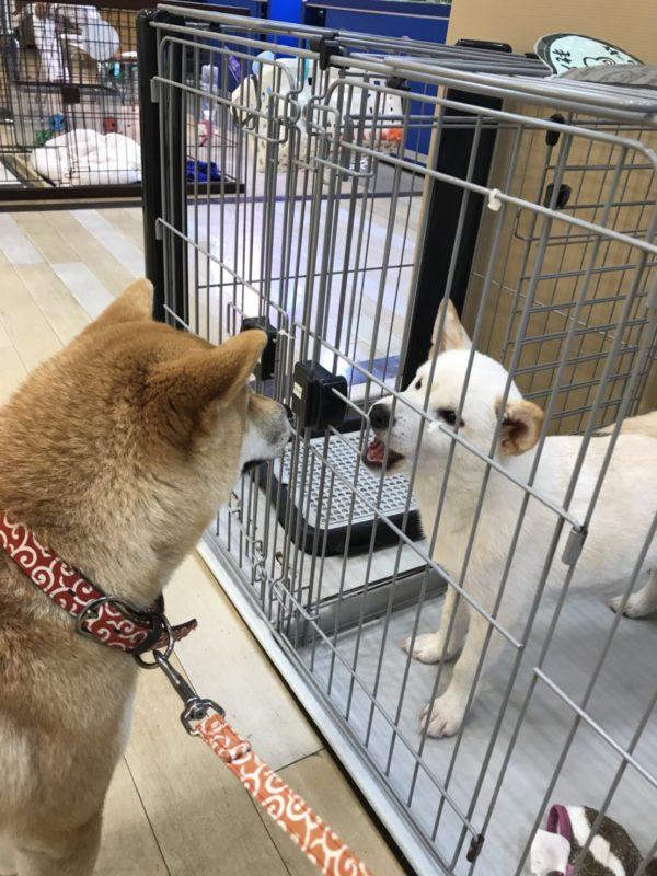 白柴犬Q太郎の子犬時代
